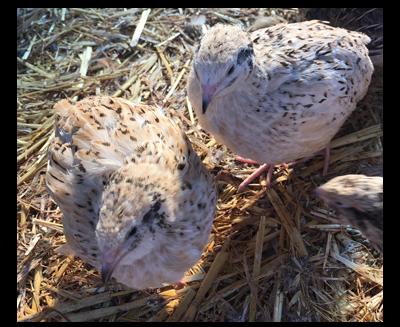 Italian Quail Poultry Centre Towcester