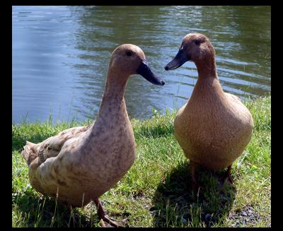 Khaki Campbell Duck Poultry Centre Towcester