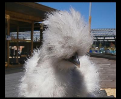Silkie hen Poultry Centre Towcester
