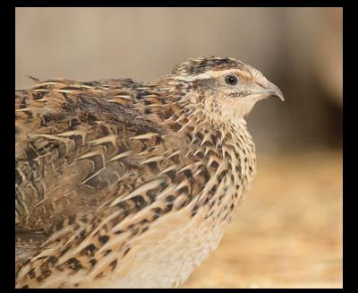 Japanese Quail Poultry Centre Towcester