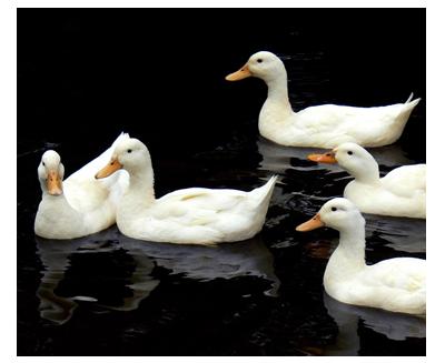 Aylesbury Duck Poultry Centre Towcester