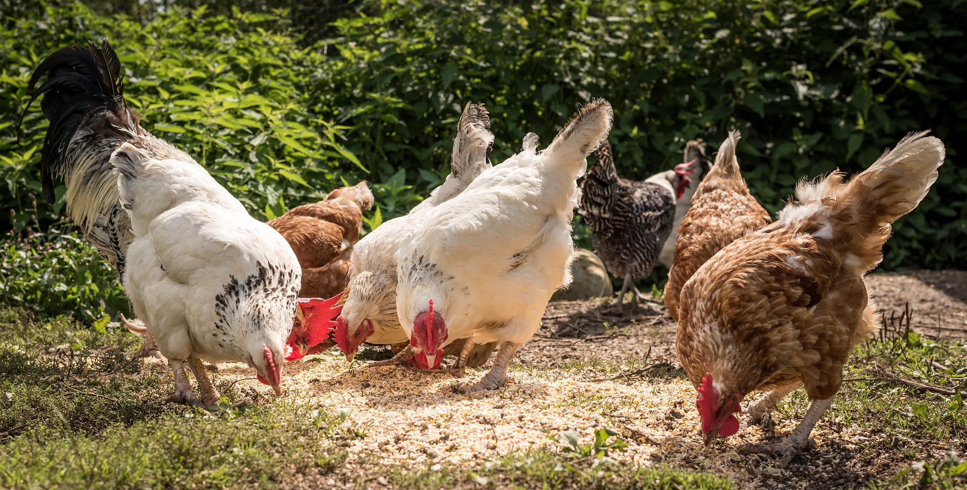 Which are the right chicken breeds for you?