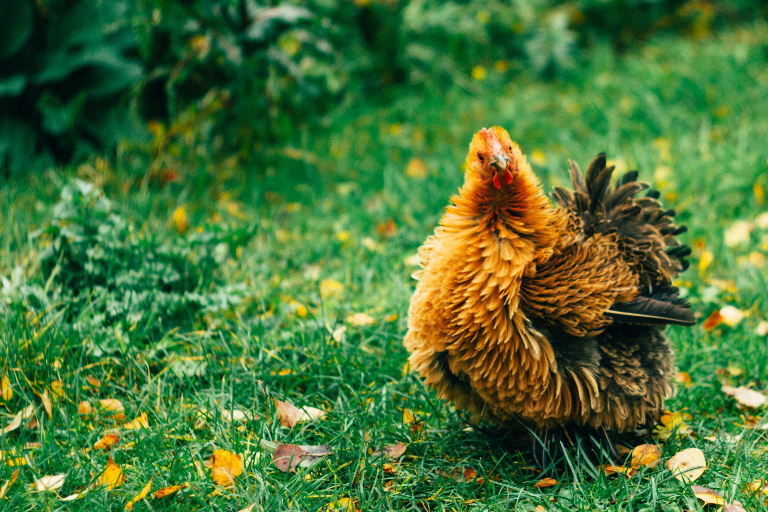 Helping your chicken through their moult